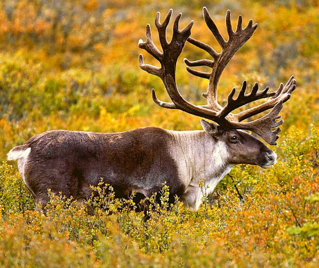 save the caribou